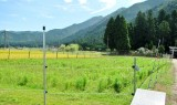 コスモス畑(草刈り前)