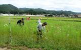 コスモス畑・草刈り(2)