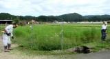 コスモス畑・草刈り(3)