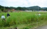 コスモス畑・草刈り(4)