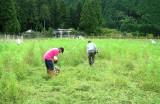 コスモス畑・草刈り(5)